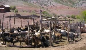Al principio, la leche de animales como las cabras se consumía convirtiéndola en productos como el queso / DENTREN