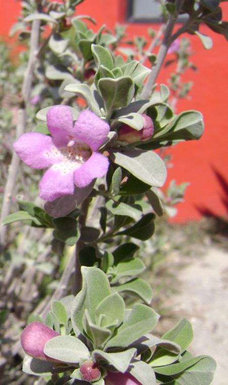 Flor del desierto mexicano