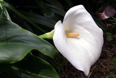 Florcilla de Tarma