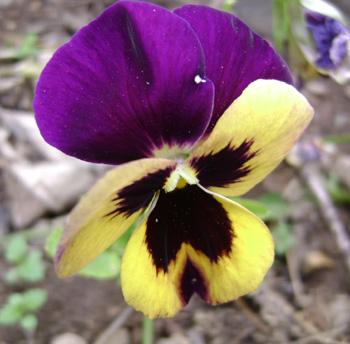 Flor de Tarma