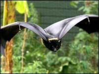 Los murciélagos utilizan la ecolocación para ubicar a sus presas.