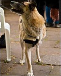Los animales encuentran más difícil adaptarse a la pérdida de una pata delantera.