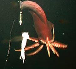 calamar gigante destelleando al atacar su presa fuente:Royal Society