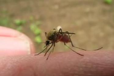 Mosquito chupando sangre
