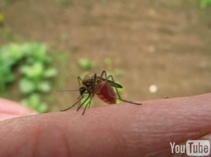 Mosquito saciado